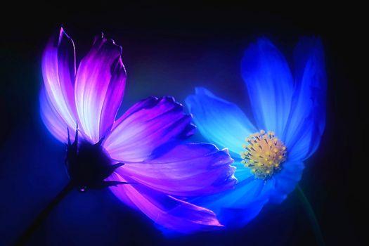 Бесплатные фото Космея,Космос,цветок,цветы,макро,флора,яркий,чёрный фон,синий,иллюминация