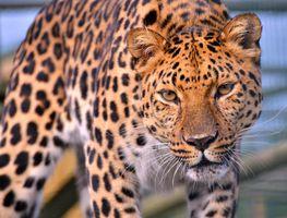 Пугающий леопард