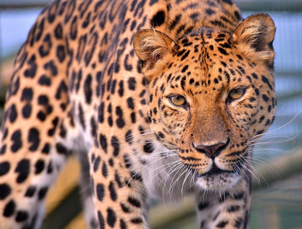 Пугающий леопард · бесплатное фото