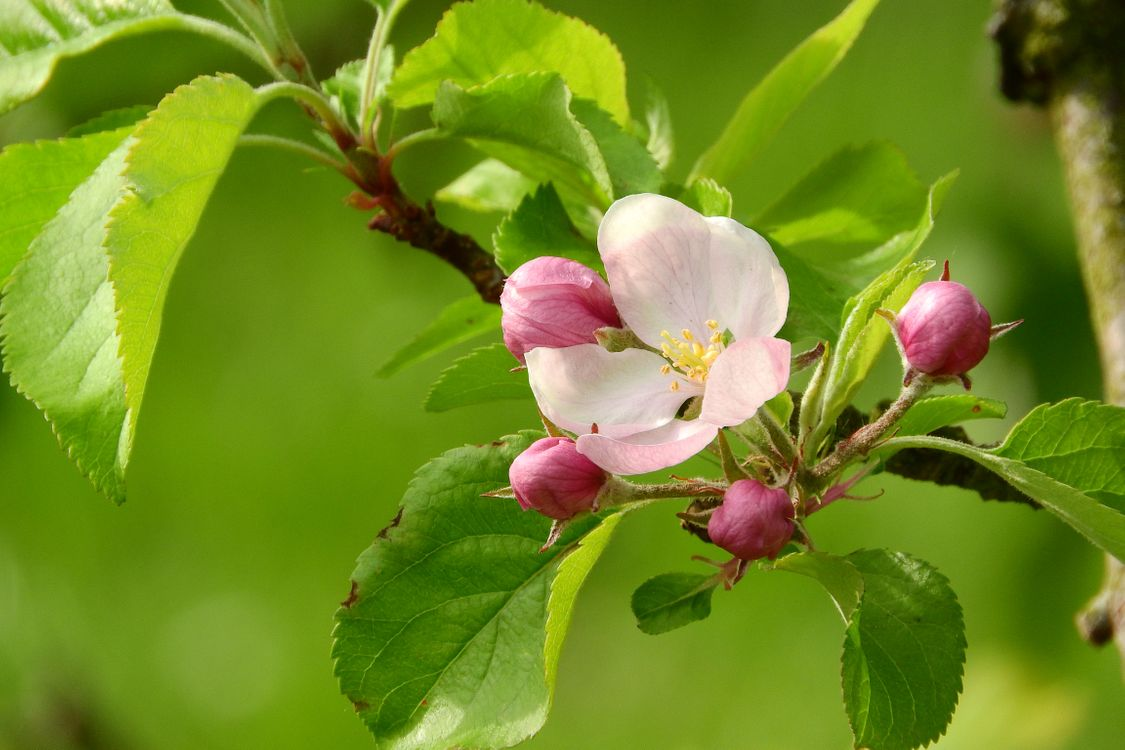 Черенки яблони · бесплатное фото