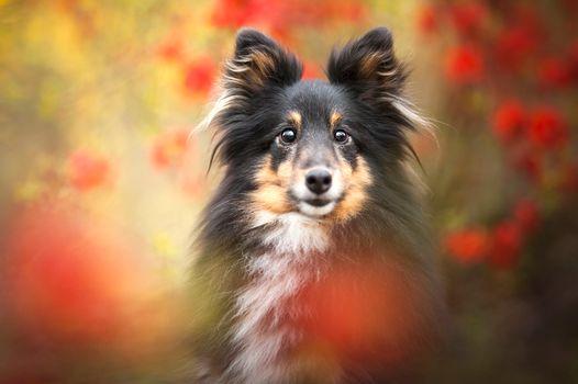 Заставки Шелти, домашнее животное, фотографии