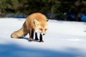 Бесплатные фото снег,зима,лиса,red fox,Ontario,Canada