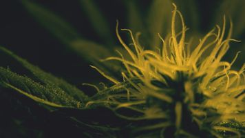 Заставки наркотики, марихуана, растения