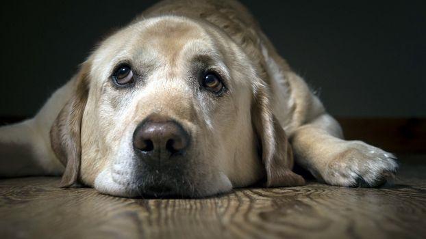 Фото бесплатно лабрадор, грустно, животные