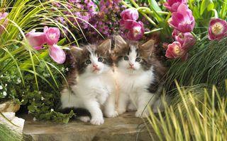Фото бесплатно котята, милые, Близнецы