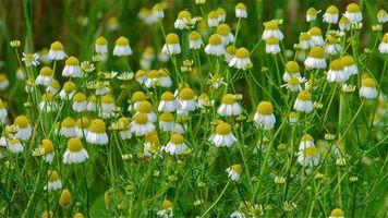 Photo free field, nature, daisies