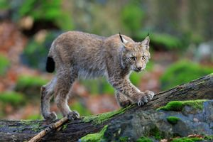 Photo free lynx, look, predator