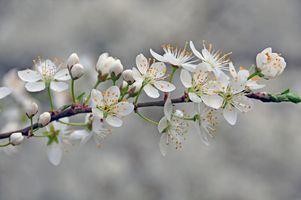 Цветущая ветвь вишни