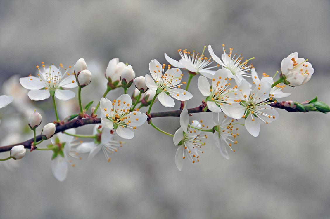 Цветущая ветвь вишни · бесплатное фото