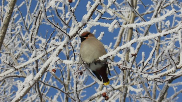 The Waxwing · free photo