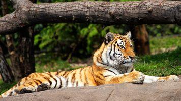 Отдыхающий тигр лежит на камне