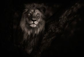 A lion in the still of the night · free photo