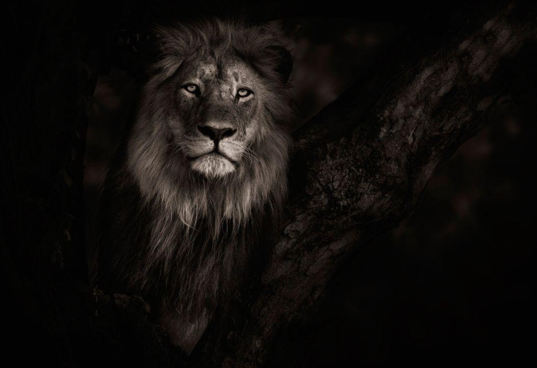 Лев в ночной тишине · бесплатное фото
