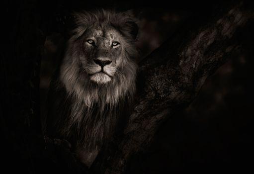 Лев в ночной тишине