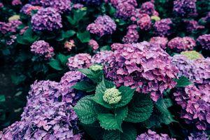 Фото бесплатно гортензия, цветы, кустарник