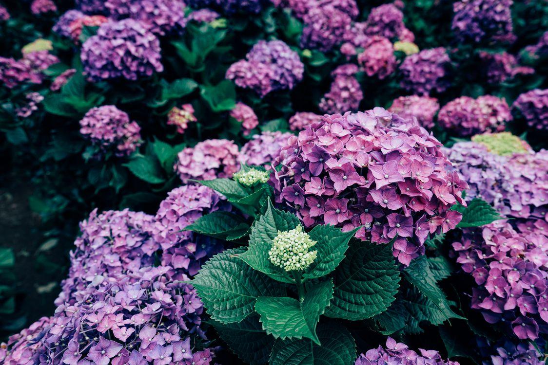 Фото бесплатно гортензия, цветы, кустарник - на рабочий стол