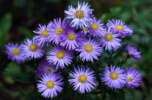 Бесплатные фото Новобельгийская астра,Aster novi-belgii,клумба,цветы,флора