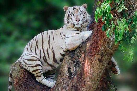 Белый тигр на дереве