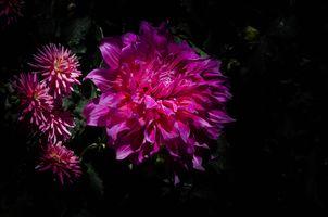 Фото бесплатно георгин, георгины, цветок, цветы, флора