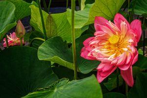 Бесплатные фото лотос, лотосы, цветок, цветы, флора
