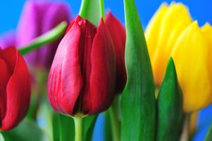 Самые красивые тюльпаны