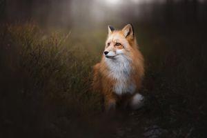 Заставки Лиса, лисица, хищное млекопитающее