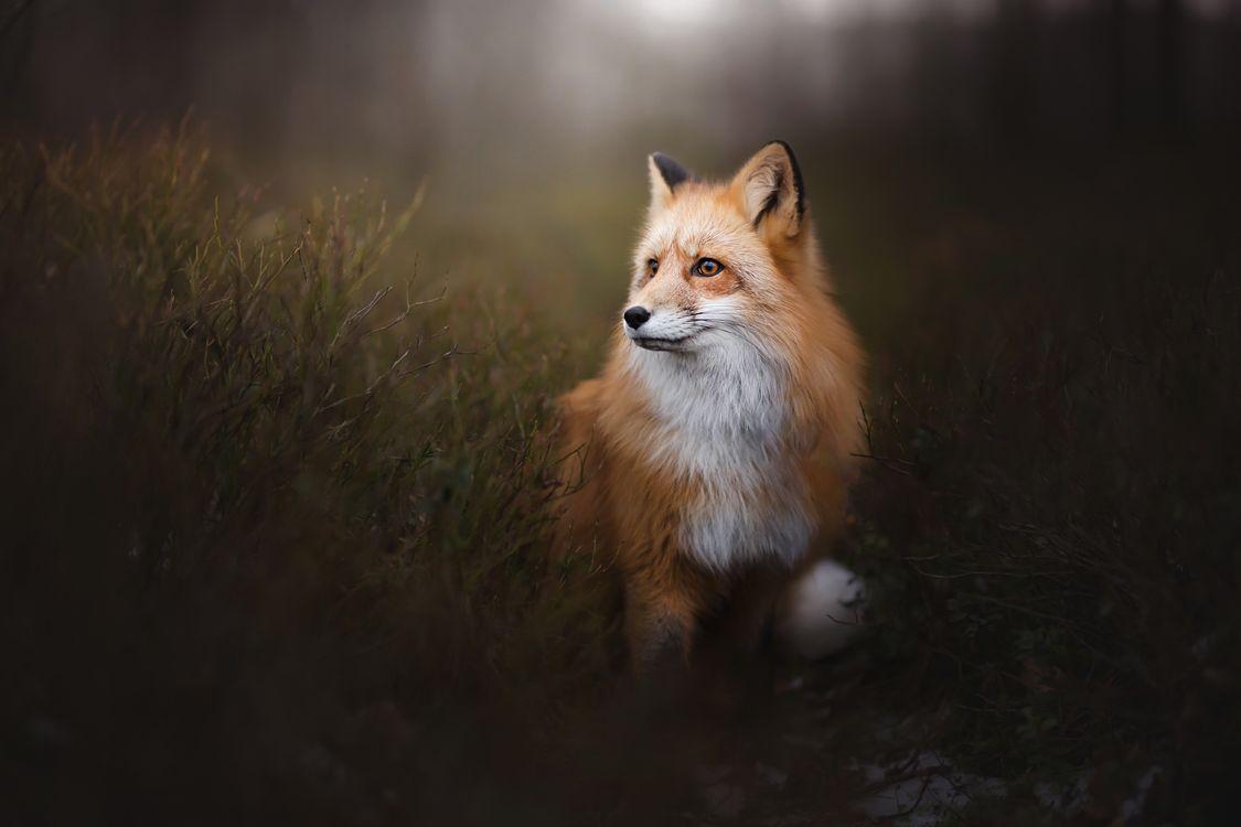 Фото бесплатно Лиса, лисица, хищное млекопитающее - на рабочий стол
