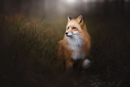 Photo free Fox Fox, carnivorous mammal of the family Canidae