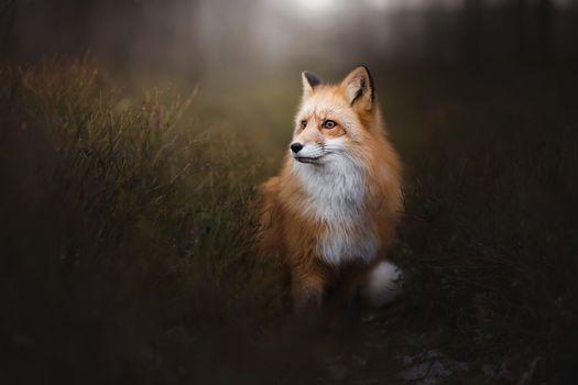 Фото бесплатно Лиса, лисица, хищное млекопитающее