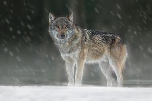 Photo free animal, predator, gray