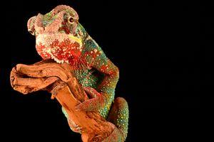 Фото бесплатно рептилия, ящерица, хамелеон