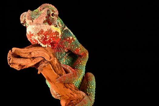 Photo free reptile, lizard, chameleon