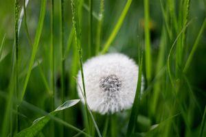 Фото бесплатно одуванчик, трава, растение