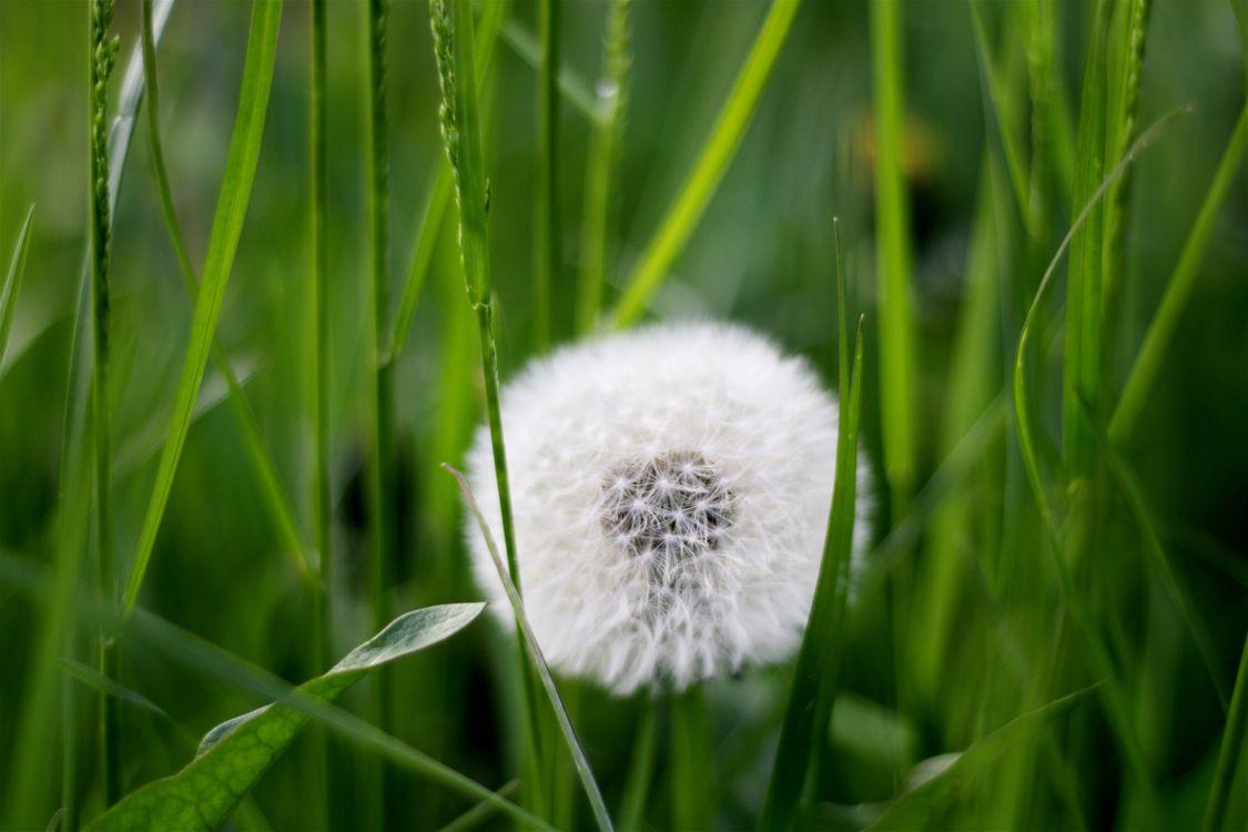 Фото одуванчик трава растение - бесплатные картинки на Fonwall