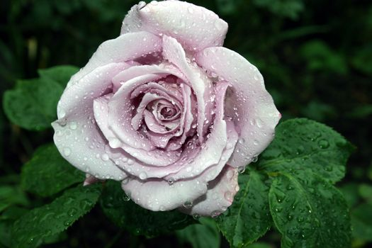 Белая роза крупным планом