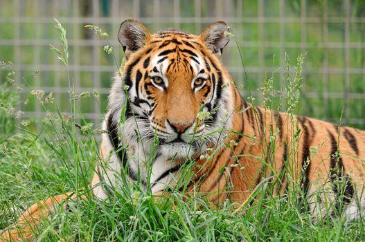 Заставки полосатый хищник, животное, тигр