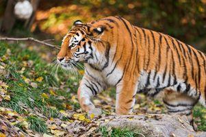 Фото бесплатно тигр тигр, морда, взгляд