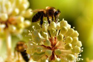 Фото бесплатно пчела, цветы, опыление