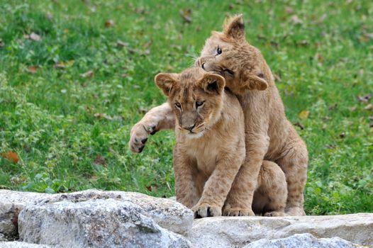 Бесплатные фото lion,cubs,львята