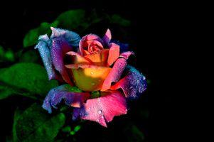 Фото бесплатно цветок, цветочная композиция, розы