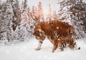 Фото бесплатно тигр, кошка, хищник, животные, опасный, природа, млекопитающее, кошачий, живая природа, дикая кошка, цифровая манипуляция, фото искусство, фотошоп, зима, лес, деревья