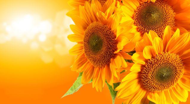 Photo free art, sunflower, sunflowers