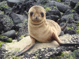 Заставки brown seal, galapagos islands, look