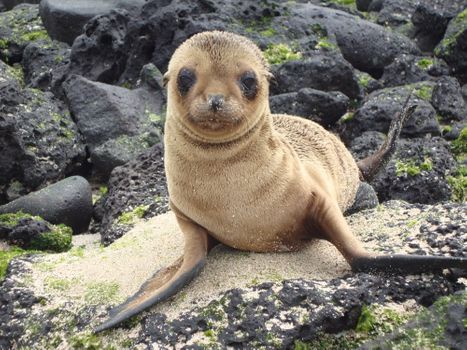 Фото бесплатно brown seal, galapagos islands, look
