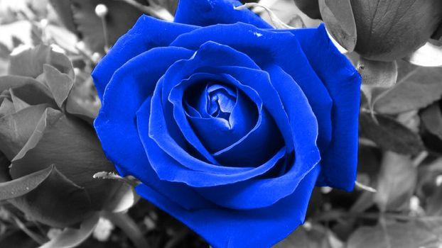 Фото бесплатно фон, роза, голубая