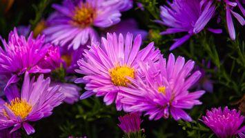 Фото бесплатно клумба, астры, цветы