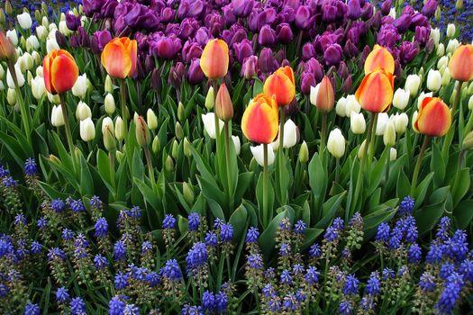 Мир тюльпанов · бесплатное фото