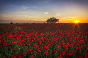 Красные маки на закате · бесплатное фото