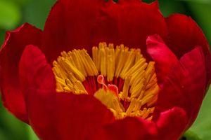 Фото бесплатно красный, пестик, стебель растения